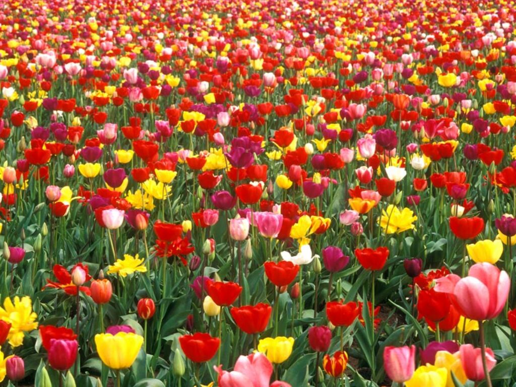 champ_de_tulipes1288025507.jpg