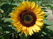 sunrich_orange_f1_20120120_1556073516.jpg