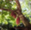 Madagascar cocoa tree