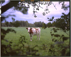 cow1k