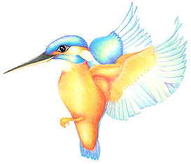 Kingfisher%20Edited%20RD_edited.png