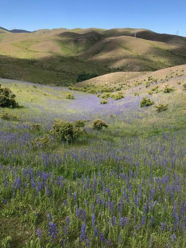 Vipers Bugloss pasture.jpeg