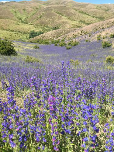 Vipers Bugloss flower.JPG