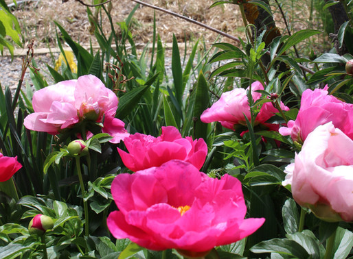 Cromwell's Peonies Impress World's Most Discerning Buyers