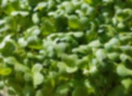 Hobart Tasmania Naked Carrot Microgreens Wasabi Wasabini