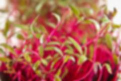 Hobart Microgreens Tasmania Naked Carrot
