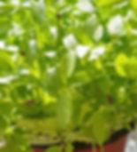 Hobart Tasmania Naked Carrot Microgreens Parsely Parselini