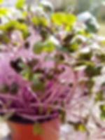 Hobart Microgreens Tasmania Naked Carrot Kohlrabi