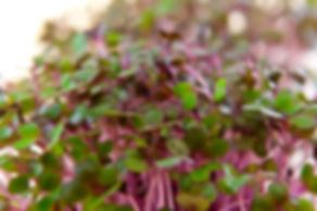 Naked Carrot Microgreens Hobart Tasmania Kohlrabi