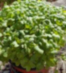 Naked Carrot Microgreens Hobart Tasmania Tatsoi Tatsini