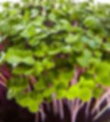 Naked Carrot Microgreens Hobart Tasmania Cabbage Cabbagini