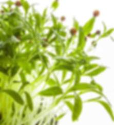 Hobart Microgreens Tasmania Naked Carrot Corianda Corandini