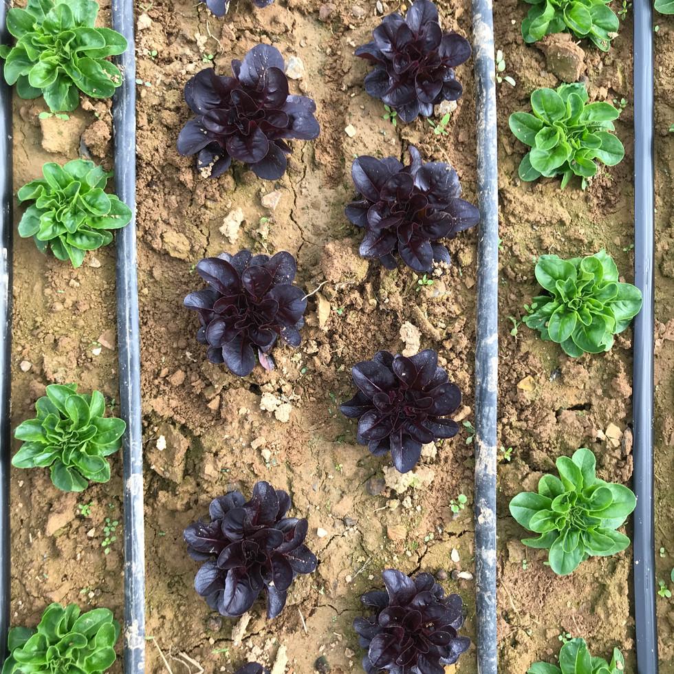 lettuce stripes.JPG