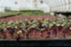 microgreens .jpg