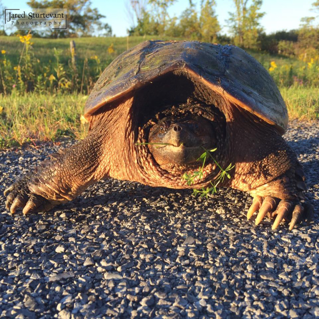 Happy Snapping Turtle