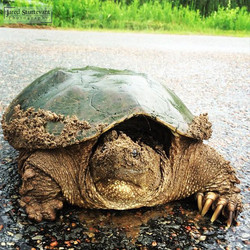Sandy Snapping Turtle
