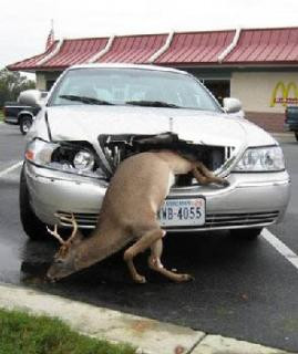 Deer car collision