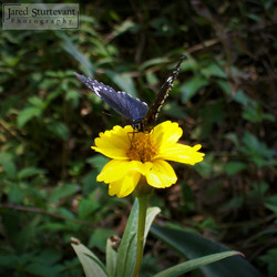 Mexican Butterfly