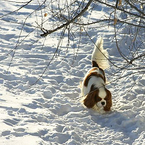 Cavalier playing in the snow