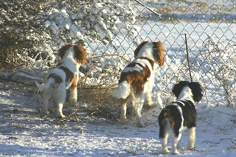 Cavaliers in the snow, waiting for owner to come home.