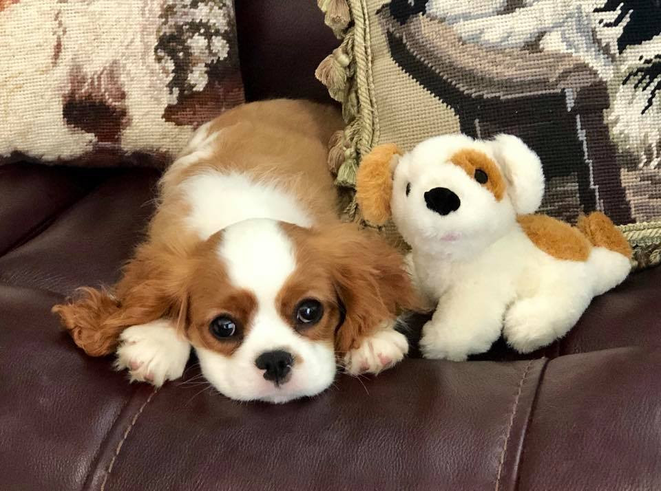 Sheeba Cavalier Puppy Cooper