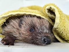 Hedgehog low res 2020 (2).jpg
