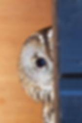 Tawny Owl Adult Peeping in Box 2.jpg