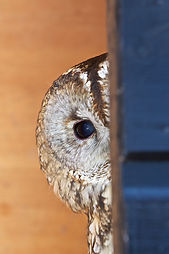 Tawny Owl Adult Peeping in Box 2.jpg
