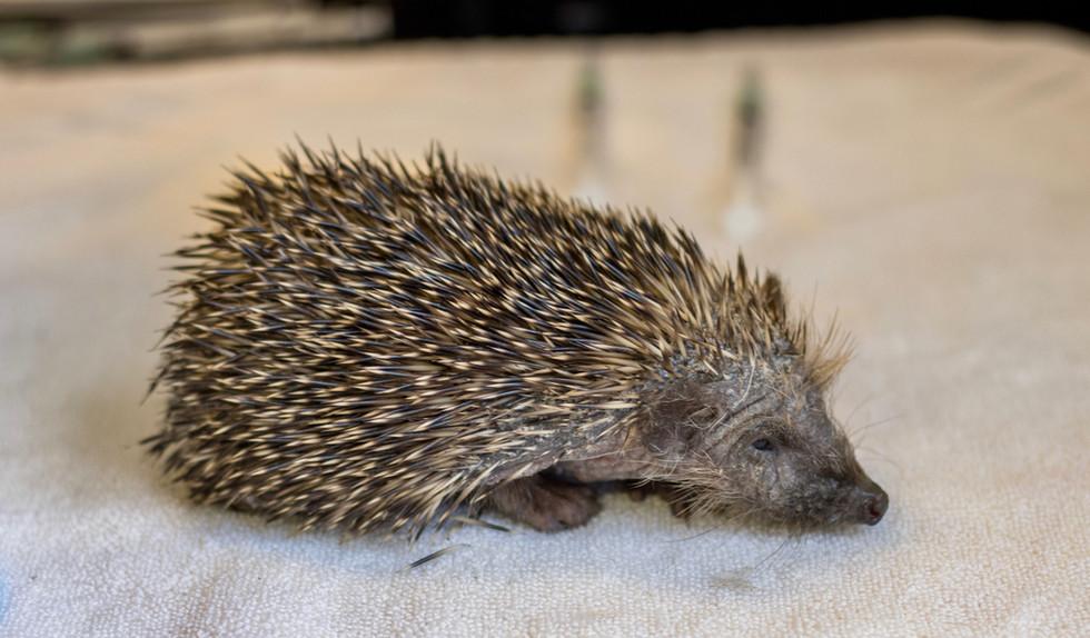 Found A Hedgehog.jpg