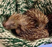 Baby hedgehogs in bobblehat.jpg