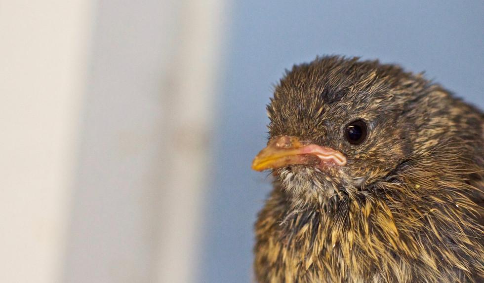 Robin Chick Head.jpg