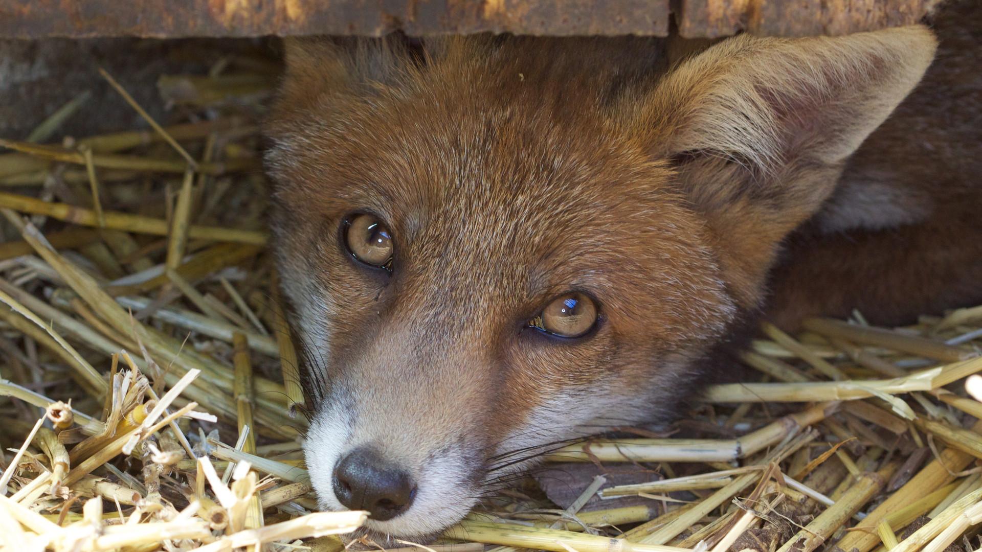 Fox Peeping From Stable.jpg