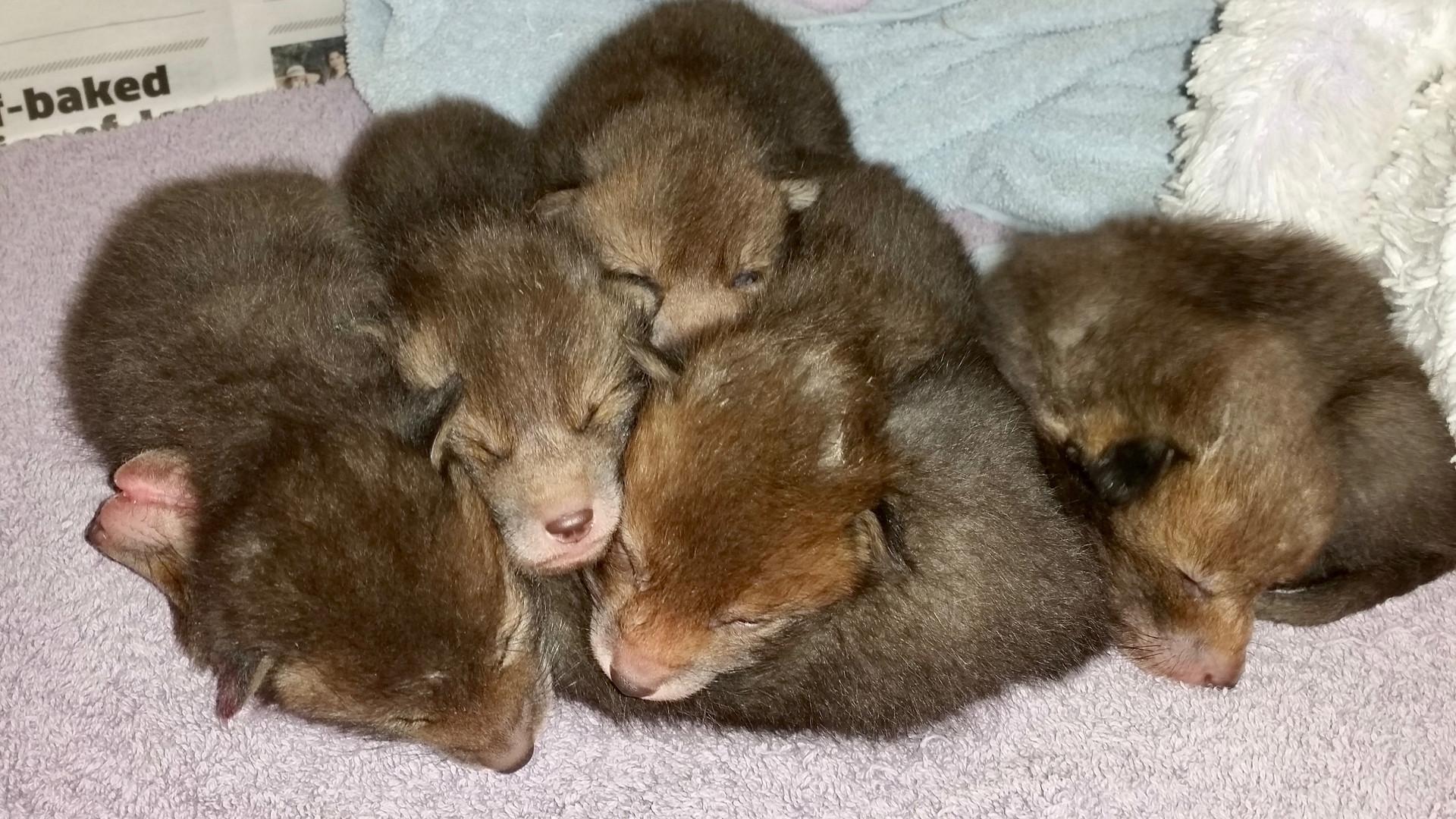 6 Baby Fox Cubs on Towels.jpg
