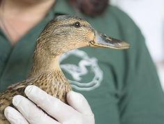 BLWH Duck.jpg