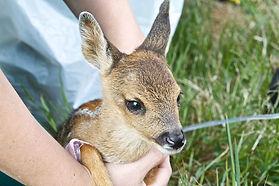 Staff Holding Roe Deer Fawn.jpg