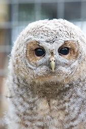Tawny Owl Juvenile in Aviary.jpg