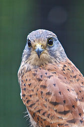 Adult Kestrel Portrait.jpg