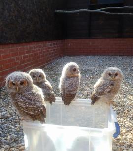 JUVENILE TAWNY OWLS