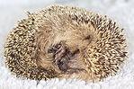 Hedgehog Juvenile Curled.jpg