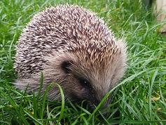 400 Hedeghogs Released.jpg
