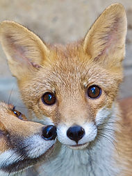 2 Fox Cubs Portrait.jpg