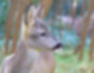 Juvenile Roe Deer in Pen.jpg