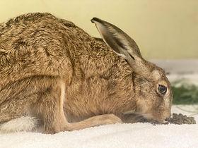 BLWH Hare (2).jpg