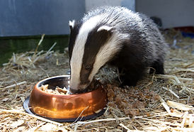 Badger Cub with Food.jpg