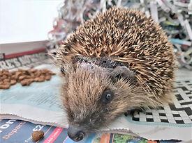 Hedgehog Strimmer Headwound.jpg