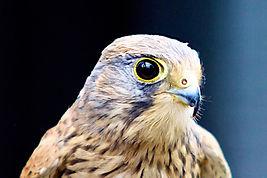 12 Bird of Prey.jpg