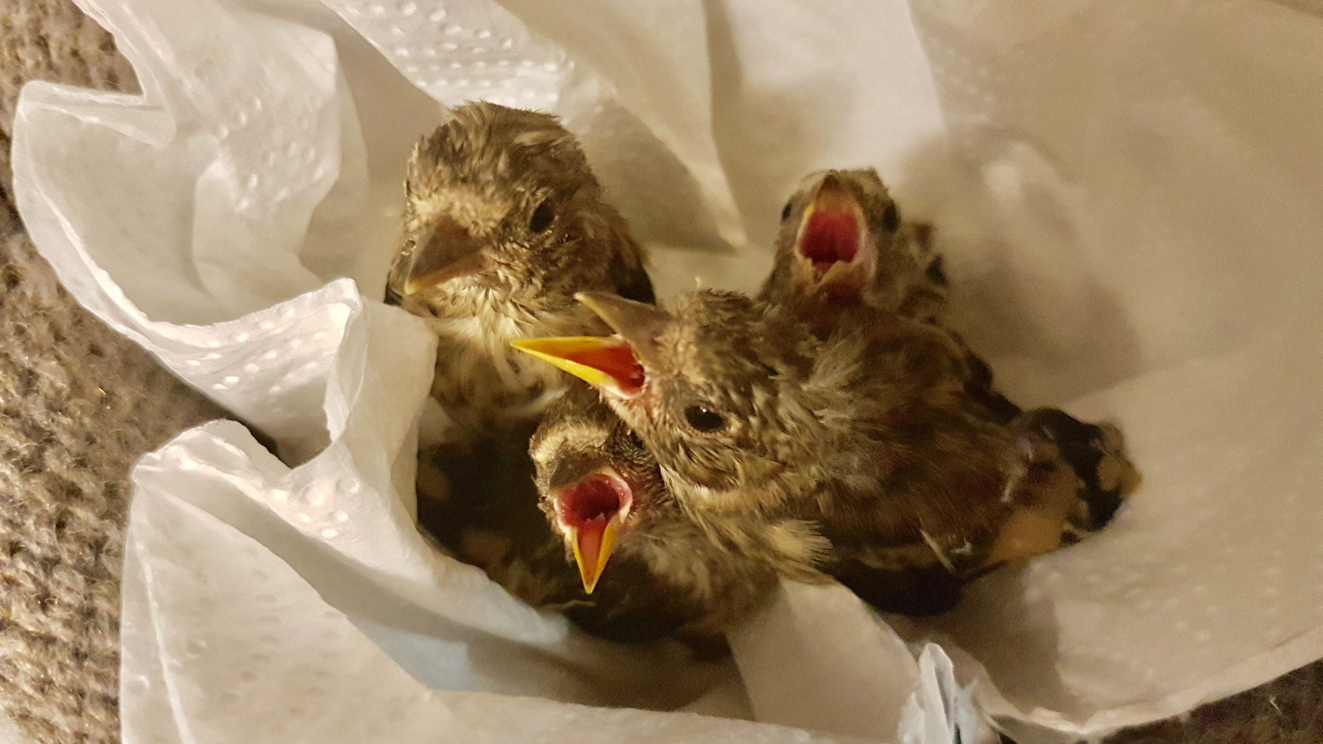 4 Baby Goldfinches in incubator.jpg