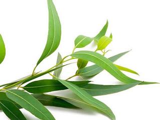 Beneficios del Eucalyptus
