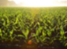 corn-crops-farm-96715.jpg
