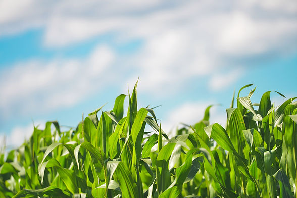 agriculture-cereals-cornfield-6535.jpg